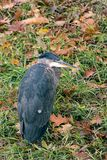 Blue haron in autum. Blue haron standing in autumn leaves and grass Stock Photo