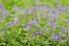 Blue Hawaii flower Stock Photography