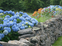 Blue Hdrangea and Summer Garden along Rock Wall Royalty Free Stock Images