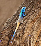 Blue Head Agama lizard. Agama lizard in the tree, sunset light, Southern Africa, Botswana Stock Photos