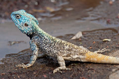 Blue Head Agama lizard. Kruger National Park, South Africa Royalty Free Stock Photos