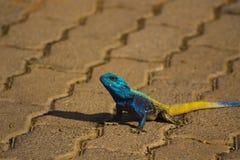 Blue Head Agama Lizard Stock Photo