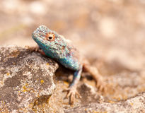 Blue head lizard on rock Royalty Free Stock Photos