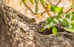 Blue-headed Agama basking on tree. Blue-headed Agama lizard  Acanthocercus atricollis gregorii basking on tree branch in Kenya, East Africa Royalty Free Stock Photos