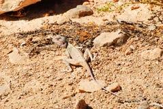 Blue-headed agama - female. Blue-headed agama - Agama lizard pretending a rock, Massirah island, Oman Royalty Free Stock Images