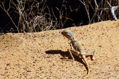 Blue-headed agama - female. Blue-headed agama - Agama lizard pretending a rock, Massirah island, Oman Royalty Free Stock Photos