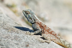 Blue-headed Agama Lizard Royalty Free Stock Photography
