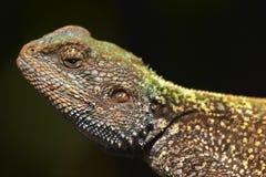 A blue headed agama lizard Stock Images