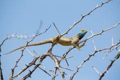 Blue headed Agama Lizard Stock Photos