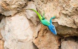 Blue headed anole lizard. Blue headed anole brightly colored lizard ion rock n Cuba royalty free stock image