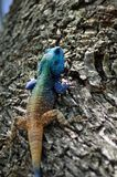 Blue headed Lizard Royalty Free Stock Photos