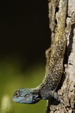 Blue headed lizard. On a tree royalty free stock photography