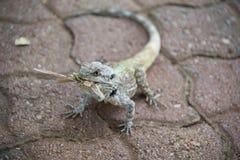 Blue Headed Lizard. A blue headed lizard catches a nice juicy grasshopper Royalty Free Stock Photo