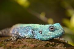 A blue headed lizard Stock Photos