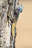 Blue headed lizard. A blue headed lizard, tree stump and blurred light brown background Royalty Free Stock Photos