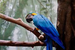 Blue-Headed Macaw Stock Images