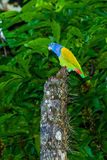 Blue Headed Parrot Stock Photo