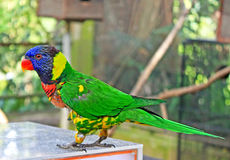 Blue headed parrot royalty free stock photography