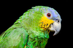 Blue Headed Parrot Stock Photos