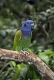 Blue-headed parrot, Pionus menstruus Stock Photo