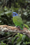 Blue-headed parrot, Pionus menstruus Stock Photos