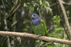 Blue-headed parrot, Pionus menstruus Royalty Free Stock Photos