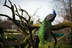 Bright male peacock sitting on a bench. A blue-headed peacock looking straight into camera beautiful tail, blue sky Royalty Free Stock Photos