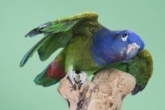 Blue Headed Pionus Stock Photos