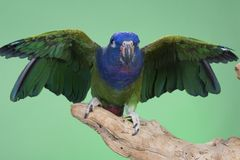 Blue Headed Pionus Royalty Free Stock Image