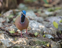 Blue-headed Quail Dove on the ground Royalty Free Stock Photos