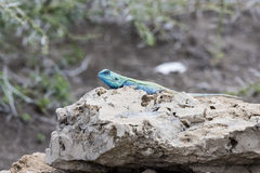 Blue-headed Tree Agama Acanthocercus Atricollis Warming on a Rock Stock Images