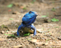 Blue Headed Tree Agama Lizard Stock Photos