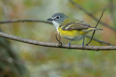 Blue-headed Vireo. Perched on a branch Stock Photos