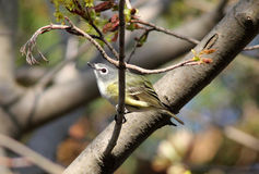 Blue-headed Vireo, Vireo Solitaris. A small migratory songbird perching on leafy branch in spring Royalty Free Stock Photos