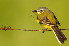 Blue-headed Wagtail Stock Photography
