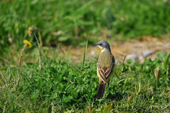 Blue-headed Wagtail. In grass Royalty Free Stock Image