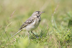 Blue-headed Wagtail Royalty Free Stock Photos