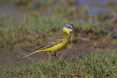 Blue headed Wagtail. Male Blue headed Wagtail at Kalloni salt pans,Lesvos royalty free stock photo