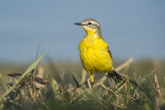 Blue-headed Wagtail male Stock Image
