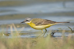 Blue-headed Wagtail male Stock Photo