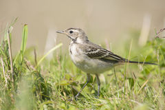 Blue-headed Wagtail Royalty Free Stock Photography