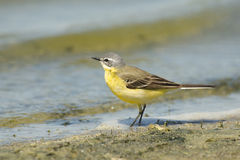 Blue-headed Wagtail Royalty Free Stock Photo