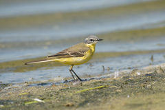 Blue-headed Wagtail Royalty Free Stock Images