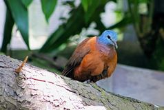 Blue-headed wood dove. The blue-headed wood dove Turtur brehmeri also known as blue-headed dove is a medium-sized, up to 25 cm long, rufous brown wood-dove with stock photography