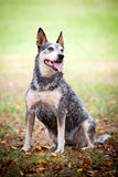 Blue Healer Dog in a Park stock images