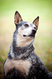 Blue Healer Dog in a Park royalty free stock photos