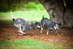 Blue Healer Dogs fight over a ball stock image