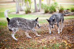 Blue Healer Dogs fight over stick. Two Blue Healer dogs in a park fighting over a stick stock photo