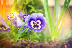 Blue heartsease flowers on garden beet in sunny summer garden,close up Stock Photos