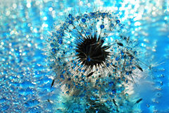 Blue heaven.... Dandelion seed sprinkled with colorful water Royalty Free Stock Images